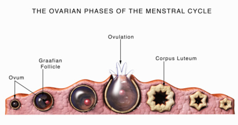 The Ovarian Phases of the Menstrual Cycle.