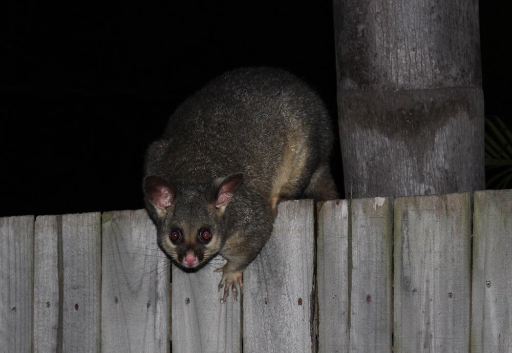 Our Possum Friend